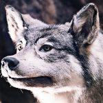 イメージ_オオカミの剥製