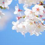 イメージ_桜
